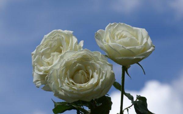 rosas mas bellas